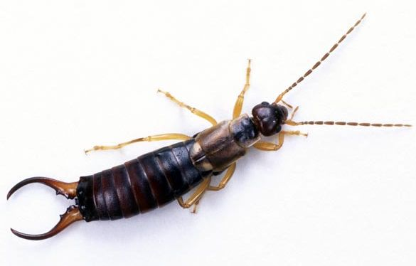 roaches cockroaches are the most commonly reported pest these